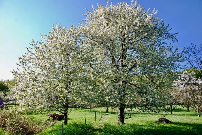 Pod čerešňami je ideálne miesto na bozkávanie a nielen 1. mája.